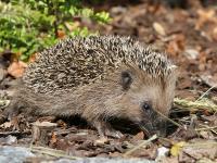 Igelhilfe im Herbst - Tierschutzbund gibt Tipps für die Igelzeit