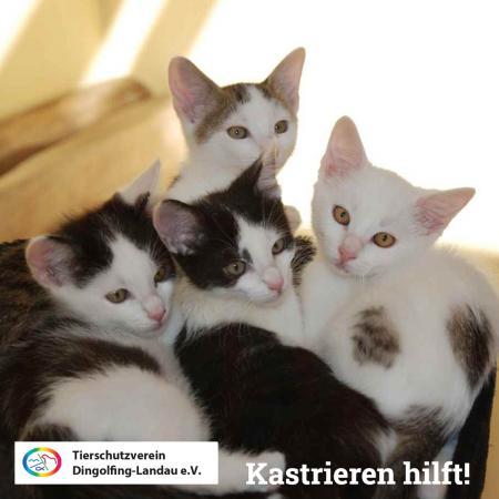 Kastrationen von Katzen
